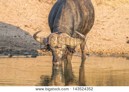 Drinking Buffalo Bull In The Kruger.