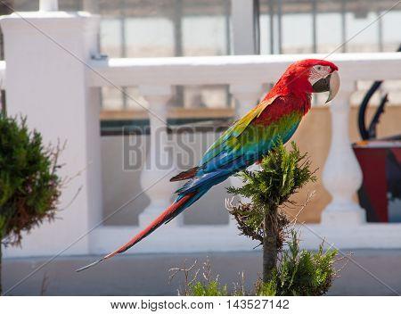 Beautiful Scarlet Macaw Ara sitting in a tree.