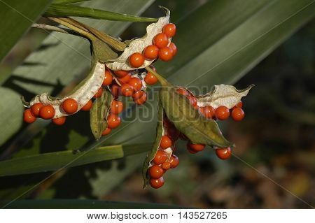 Stinking Iris - Iris foetidissima Red Seeds in Pod