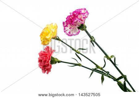 carnation multi colored flower on a white background
