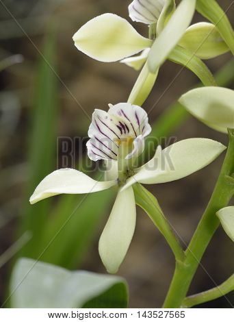 Lined Petal Prosthechea Orchid - Prosthechea radiata From Central America