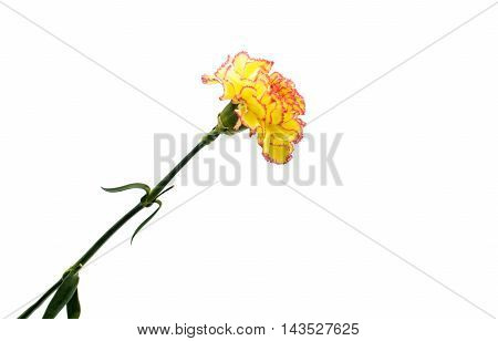 carnation flower  yellow on a white background