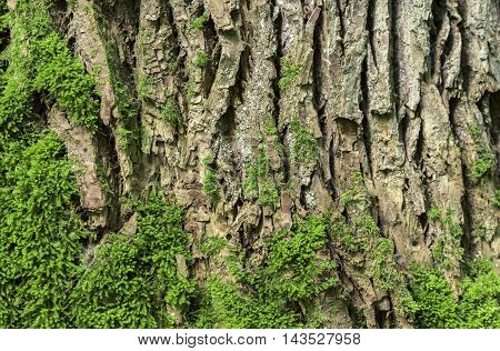 Oak tree bark background -  Wooden background with bark and moss from an old oak tree, beautiful details on the deep cracks and the curves.