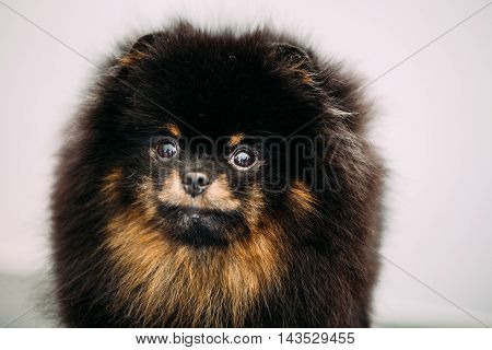 Close Up Black and Red Pomeranian Spitz Small Puppy Dog