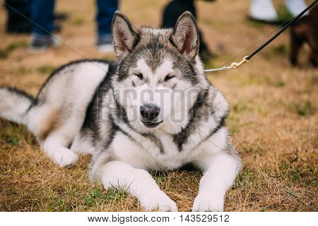 Alaskan Malamute Five-month Puppy Dog Sitting On Dry Grass. Autumn Season