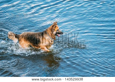The Breed Long-Haired Wet Black And Red Adult Alsatian Wolf Dog, Running In Blue Water Of River Lake With Splashes Around. Deutscher, German Shepherd Dog