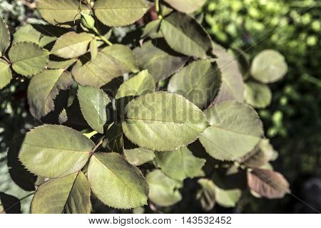 green rose flower plant leaves outdoor closeup