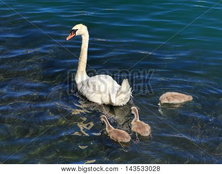 A swan with three cygnets on the Aare river in the city of Solothurn Switzerland.