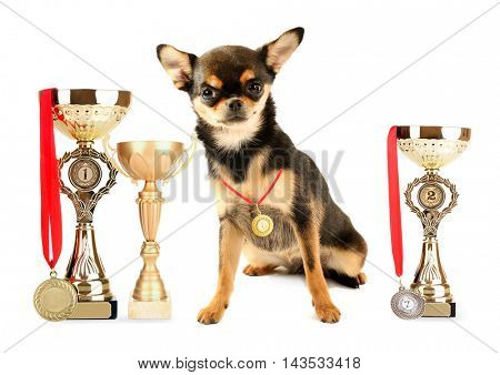 Cute chihuahua puppy with trophy cups and medals isolated on white