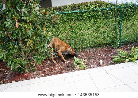 Brown boxer dog buries a bone in the dirt.