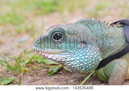 water dragon iguana reptile head close up macro