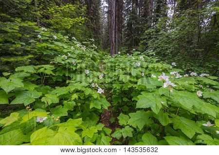 Thimbleberry Blooms Over Grow Western Forest Trail in summer