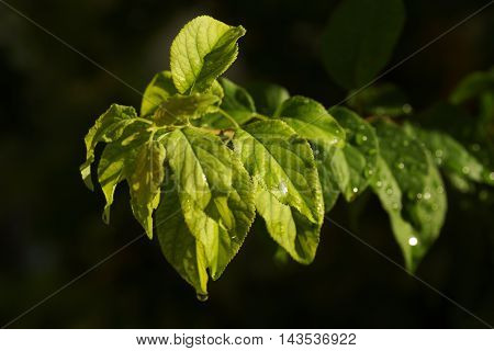 Leaves of a plum tree after rainfall