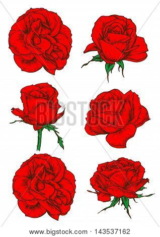 Red rose icons with blooming flowers and buds of garden tea rose isolated on white. Floral decor for invitation, greeting cards and tattoo design