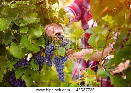 farmer male hands picking grape, grapes harvest