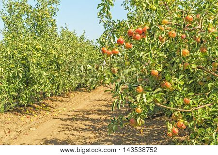 Ripe orange apples on a branch against the backdrop of an orchard on a sunny autumn day