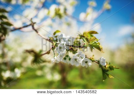Beautiful and lush blossoming of cherry tree in spring