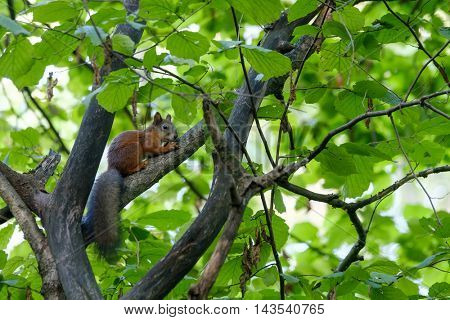 Squirrel sitting on a tree in the forest