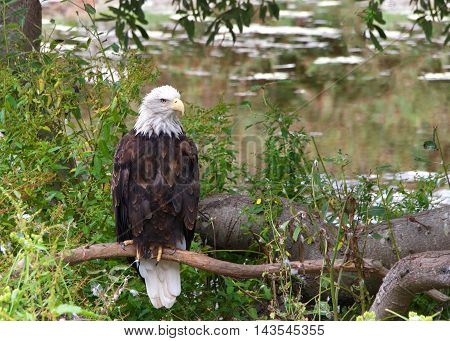 American bald eagle perched on a branch near the ground looking to viewers right light reflecting off water in the background.