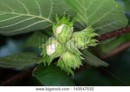 Green nuts of a common hazel (Corylus avellana)