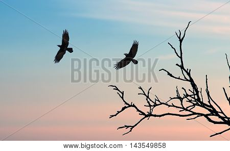 Silhouette of a crows (Corvus brachyrhynchos) flying against sunset sky