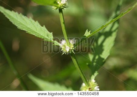 Flowers of a gypsywort plant (Lycopus europaeus)