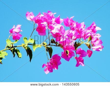 Branch of Pink Bougainvillia flowers in Or Yehuda Israel