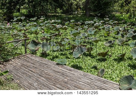 Wooden landing stage with the lotus tree.