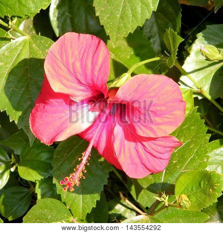 Red Hibiscus isolated in Or Yehuda Israel