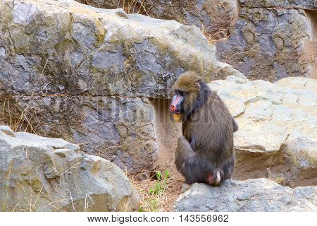 Male mandrill facing away from viewer turned to look at viewer sitting in rocks foraging for food.