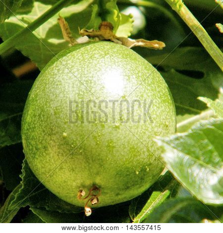 Passiflora fruit isolated in Or Yehuda Israel