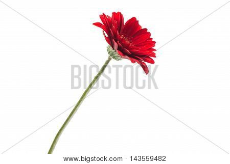 gerbera growth, colorful, beauty on a white background