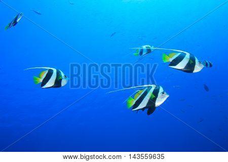 Tropical fish blue sea
