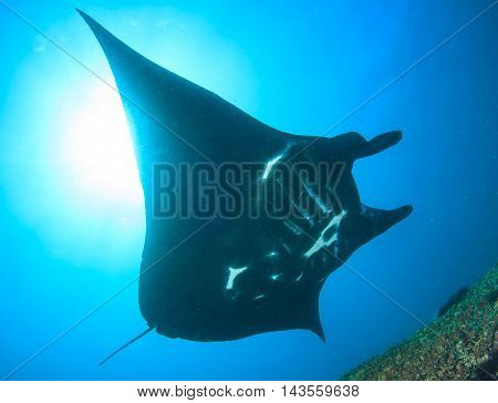 Black Reef Manta, Komod, Indonesia