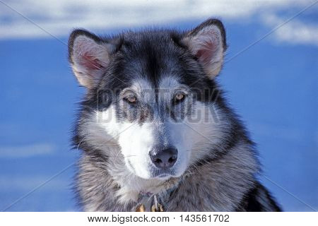 Head of beautiful Alaskan Malamute, portrait close up