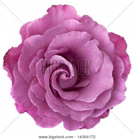 Schöne Lavendel-farbenen Rose, isolated on White.