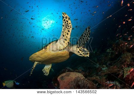 Hawksbill Sea Turtle on coral reef underwater in Komodo, Indonesia