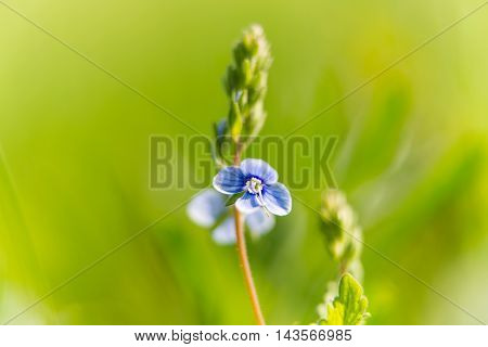 small blue flowers blooming in the meadow