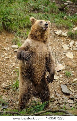 Brown Bear (ursus Arctos) Is Standing Up