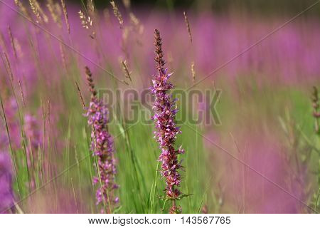 Tall Pink  Flowers In Summer Meadow