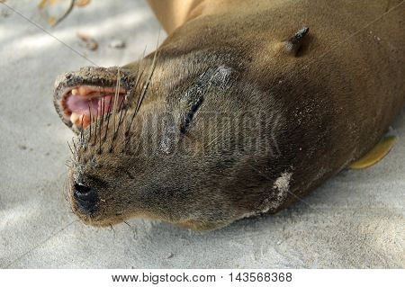 Sea lion lying in sand on beach, head close up on Galapagos island