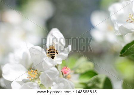 Nature background. Honeybee and white apple flowers.