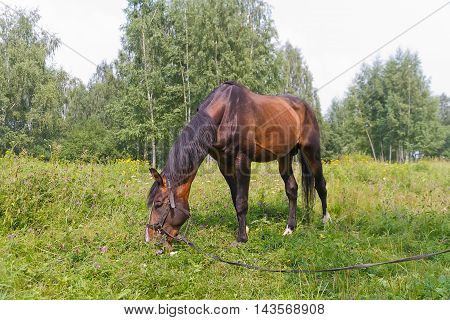 Sorrel horse grazing on a meadow near the forest