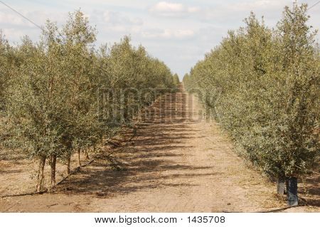 File Of Olive Trees