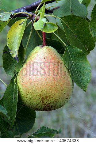 Pear fruit on a branch under natural conditions