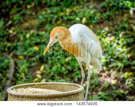 Cattle egret is eating in the park