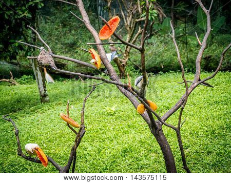 Pied Imperial Pigeon standing on the branch while eating ripe papaya