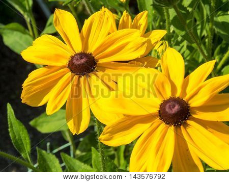 black eyed susan Rudbeckia hirta flowers background