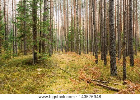 Path, pathway, way in wild autumn coniferous forest reserve. Nature of evergreen coniferous forest. Scenic view.