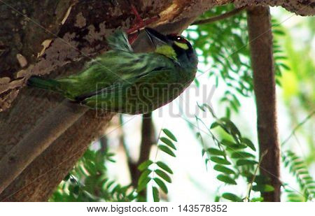 A Coppersmith Barbet crawling up the trunk of a tree